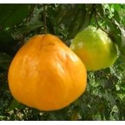 Muda de Guayabilla feita de semente - FC
