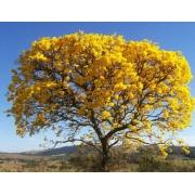 Muda de Ipê Amarelo H serratifolius feita de semente - FC