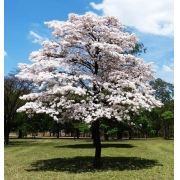 Muda de Ipê Branco (Tabebuia roseio-alba) feita de semente - FC