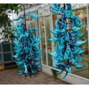 Muda de Jade Azul feita de estaca - FC