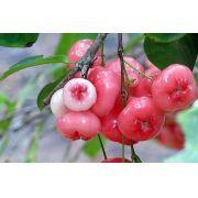 Muda de Jambo Rosa feita por semente