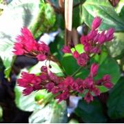 Muda de Lágrima de Cristo Vermelha (Clerodendron thomsoniae) feita de semente - FC