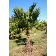 Muda de Leque da Filipinas (Palmeira Leque) Livistona rotundifolia feita de semente - FC