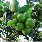 Muda de Limão Taiti feita de enxerto