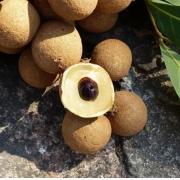 Muda de Longan Fruta Olho de Dragão feita de semente - FC