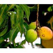Muda de Manguita ou Manga Ouro feita de semente