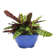 Muda de Maranta Cascavél ou Calathea Lancifolia Cuia 21