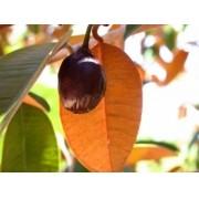 Muda de Mini Cainito feita de semente - FC