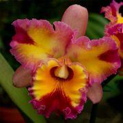 Muda de Orquídea Bc Hawaiian Rainbow x C Horace Maxima 8196-2