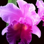 Muda de Orquídea Blc Amy Wakasugi 5 84-1