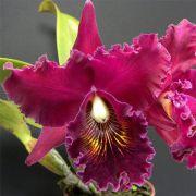 Muda de Orquídea Blc Chia Lin New City 007-PA