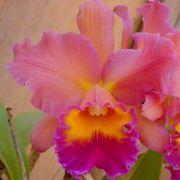 Muda de Orquídea Blc Chia Lin New City x Blc Goldenzelle Nicole 8230-1