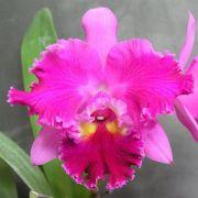 Muda de Orquídea Blc Chrissy Compton 915-PA