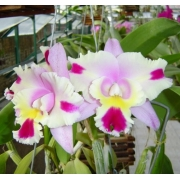 Muda de Orquídea Blc Chyong Guu Chaffinch X Lc Hawwaiian Wedding Song Virgin 372