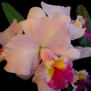 Muda de Orquídea Blc Erica Porto x Lc Maria Cristina Miranda x Lc Log Cabin 8210-1