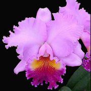 Muda de Orquídea Blc Genesis Alpha x Blc Oconee Mendenhall x Lc Drumbeat Triumph 8205-1