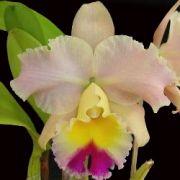 Muda de Orquídea Blc Goldenzelle Saddle Peak 541-1