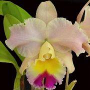 Muda de Orquídea Blc Goldenzelle Saddle Peak 541-PA