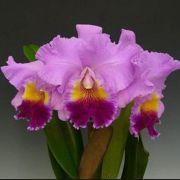 Muda de Orquídea Blc Gorgeous Gold Pokai x Lc Drumbeat Triumph HCC/AOS x Lc Alfredo Martinelli Wanda 8216-1