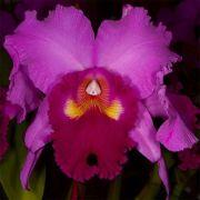 Muda de Orquídea Blc Hausermanns Holiday Christmas 920-PA
