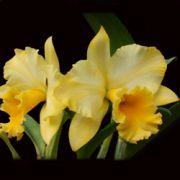 Muda de Orquídea Blc Kure Beach Lanette x Blc Owen Holmes Ponkan AM/AOS x Blc Geoge King Serendipity AM/AOS 8028-1