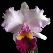 Muda de Orquídea Blc Mishima Monarch Blumen Insel 504