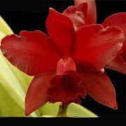 Muda de Orquídea Blc Nobiles Bruno Bruno 067-PA