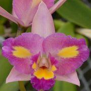 Muda de Orquídea Blc Pachara Fantasy 904-PA