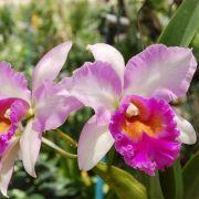 Muda de Orquídea Blc Pink Diamond 905-PA