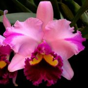 Muda de Orquídea Blc Portage Glacier Sunset x Blc Genesis Alpha x C Empress Belle Stephenson 8242-1