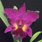 Muda de Orquídea Blc Purple Ruby x Lc Pirate King 12