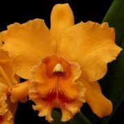 Muda de Orquídea Blc Rattanakosin x Blc Vichitr x Blc Golden Slippers 8160-1
