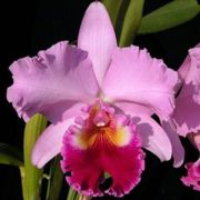 Muda de Orquídea Blc Rose Whisper Suisei 155-PA