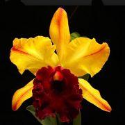 Muda de Orquídea Blc Toshie Aoki Pokai AM/AOS x Blc Edisto Newberry x L Purpurata coerulea estriata 8029-2