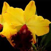 Muda de Orquídea Blc Toshie Aoki Super Nova 34-1