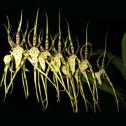 Muda de Orquídea Brassia Eternal Wind Summer Dream CO29-PA