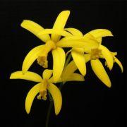 Muda de Orquídea C Leopoldi x C Schilleriana x L flava x Sls Jewel Box 8145-1