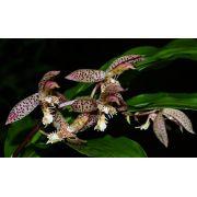 Muda de Orquídea Catasetum Lanciferum x Carolineanum