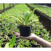 Muda de Orquídea Cattleya Blc. Gorgeous Gold Pokai x Blc. Chunyeah 2 MS1638