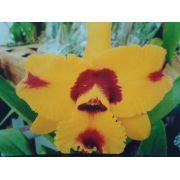 Muda de Orquídea Cattleya Blc. Hsyning Fantasy Little Tiger MSR016