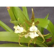 Muda de Orquídea Cattleya Brassia Serene CBRS Gire Andiana x Asp. Prinei-Pissa MS1544