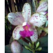 Muda de Orquídea Cattleya C. Amethystoglossa Nº 1 x C. Ametystoglossa Nº 2 6423