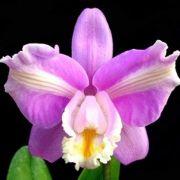 Muda de Orquídea Cattleya harrisoniana trilabelo ESP-053-2