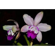 Muda de Orquídea Cattleya Intermedia (vidro figueirinha) x (vinicolor aquini)