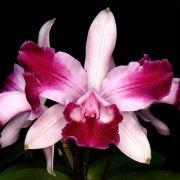 Muda de Orquídea Cattleya intermedia vinicolor flamea self ESP-060-1