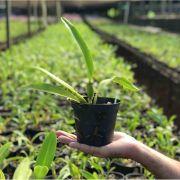 Muda de Orquídea Cattleya L. purpurata Estriata x Flamea x Blc. Toshie Aoki Robin 6687