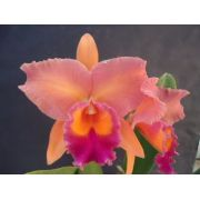 Muda de Orquídea Cattleya Lc. Drumbeat Trimph HCC/AOS x Lc. Alfredo Martinelli Wanda x Blc. Orange Show Cloud Forest MS1250