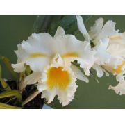 Muda de Orquídea Cattleya Lc. Esbetts Clown Blumen Insel MS1584 ER