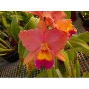 Muda de Orquídea Cattleya Lc. Fire Dance Blendie x Pot. Lovely Memory June Bride MS1650 ER