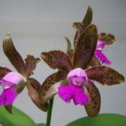 Muda de Orquídea Cattleya leopoldii var. tipo Gil ESP-073-1